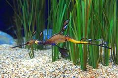 Dragão do mar Imagem de Stock