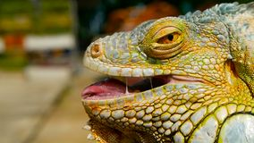 Dragão do sono Retrato do close-up de descansar o lagarto vibrante Foco seletivo Nativo verde da iguana às áreas tropicais filme