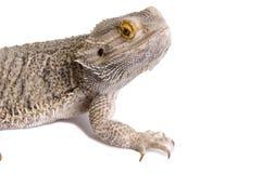 Dragão farpado (1) Fotografia de Stock