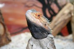 Dragão farpado Imagens de Stock