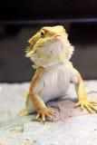 Dragão farpado Fotografia de Stock Royalty Free