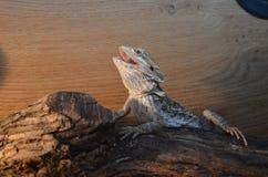 Dragão farpado Fotografia de Stock