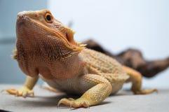 Dragão farpado Foto de Stock Royalty Free