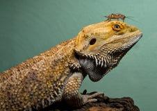 Dragão farpado com camarada do grilo Fotografia de Stock