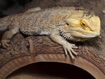 Dragão farpado com camarada do grilo Imagens de Stock Royalty Free