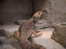 Dragão farpado de Pogona Vitticeps Bartagame Imagens de Stock