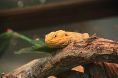 Dragão farpado, dragão farpado interno Imagem de Stock