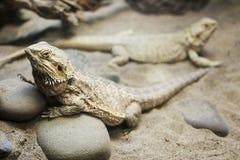 Dragão farpado interno Fotografia de Stock