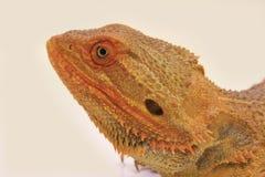 Dragão farpado interno (vitticeps de Pagona) Imagem de Stock
