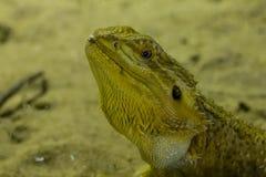 Dragão farpado no jardim zoológico imagem de stock