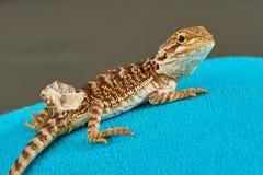 Dragão farpado novo em um saco de água quente fotografia de stock