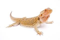 Dragão farpado, vitticeps de Pogona Fotografia de Stock Royalty Free