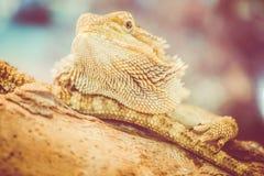 Dragão farpado - vitticeps do pogona Imagem de Stock Royalty Free