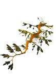 Dragão frondoso do mar foto de stock royalty free