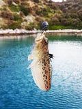 Dragão venenoso dos peixes de mar no gancho O habitante da região mediterrânea, do Atlântico oriental e da costa do Chile imagem de stock royalty free