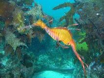 Dragão Weedy do mar Fotografia de Stock Royalty Free