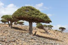 Dragón-árbol Fotos de archivo libres de regalías