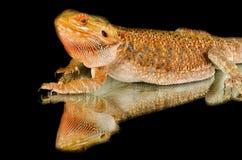 Dragón australiano en espejo Fotografía de archivo