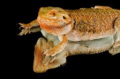 Dragón australiano en espejo Imagen de archivo libre de regalías