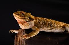Dragón australiano en rama Foto de archivo libre de regalías