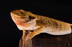 Dragón australiano en rama Fotografía de archivo libre de regalías