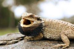 Dragón barbudo fotografía de archivo libre de regalías