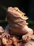 Dragón barbudo Imagenes de archivo