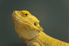 Dragón barbudo Foto de archivo libre de regalías
