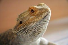 Dragón barbudo Fotos de archivo libres de regalías