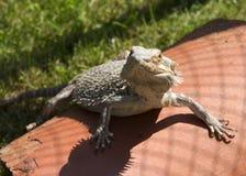 Dragón barbudo Imagen de archivo