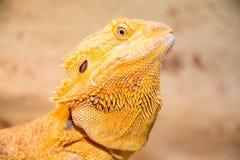 Dragón barbudo fotografía de archivo