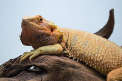 Dragón barbudo Imagen de archivo libre de regalías