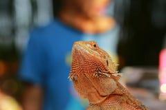 Dragón barbudo Fotos de archivo