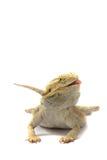 Dragón barbudo aislado en blanco Fotos de archivo libres de regalías