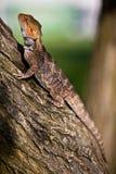 Dragón barbudo anaranjado en el árbol Fotos de archivo libres de regalías