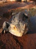 Dragón barbudo de Australia Fotos de archivo