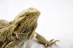 Dragón barbudo en blanco Fotografía de archivo libre de regalías