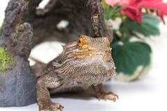 Dragón barbudo en blanco fotos de archivo libres de regalías