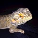 Dragón barbudo en fondo oscuro Fotografía de archivo