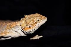 Dragón barbudo en negro foto de archivo