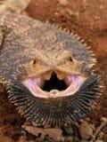 Dragón barbudo enojado fotos de archivo libres de regalías