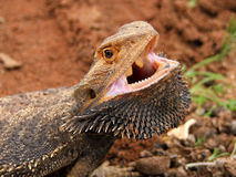 Dragón barbudo enojado Foto de archivo