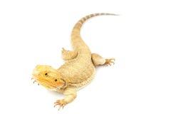 Dragón barbudo (vitticeps de Pogona) Foto de archivo libre de regalías