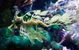 Dragón camuflado del caballo de mar Imagen de archivo libre de regalías