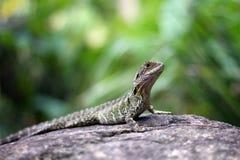Dragón de agua australiano Imágenes de archivo libres de regalías