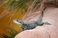 Dragón de agua de Gippsland Foto de archivo