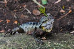 Dragón de agua del este australiano (lagarto) fotos de archivo