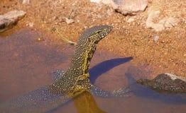 Dragón de agua en Suráfrica Imagen de archivo