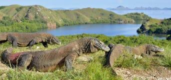 Dragón de Komodo Fotografía de archivo libre de regalías