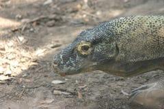 Dragón de Komodo foto de archivo